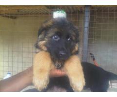 Imported slant german shepherd + Pug + Cane Corso + Labrador