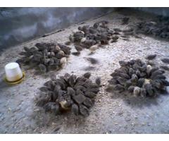sales of fresh quail eggs and quail birds