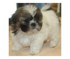 Shih Tzu pup @ Doglord Kennels