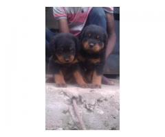 Rottweiler puppies for sale @dogrepublic