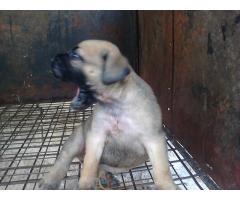 Bull Mastiffs Puppy for sell