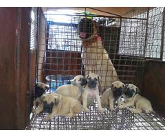Bull Mastiffs Puppy for sell