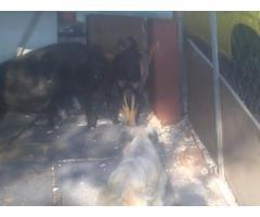 alsation/labrador Pretoria