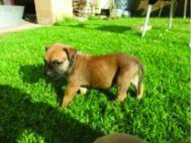 boermastiff pups for sale