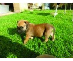 boermastiff pups for sale