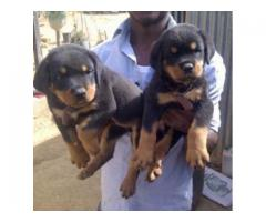 Rottweiler puppies for sale in Nigeria