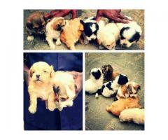 Lhasa apso for sale in Nigeria