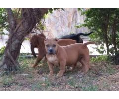 american bully pit bull puppies